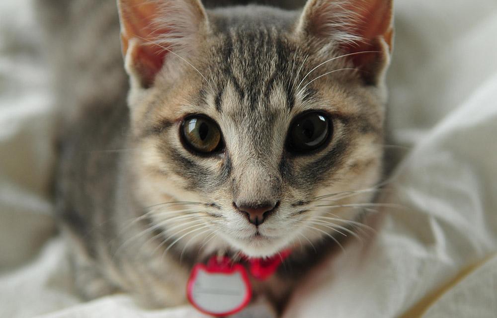 Адресник с гравировкой для кошки